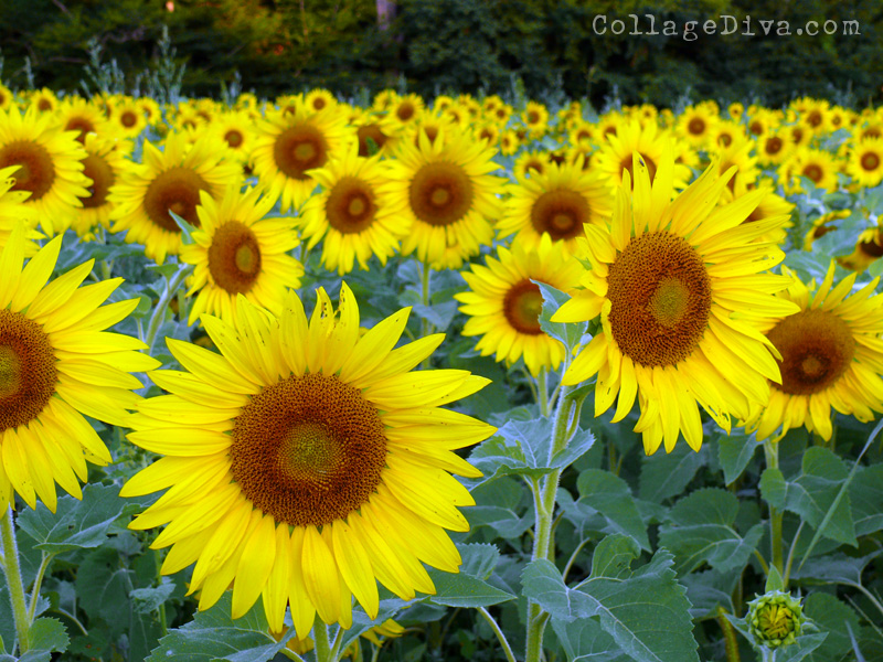 1-sunflowers