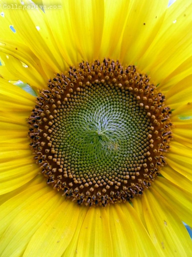 sunflowers and torus yantra