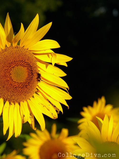 5-sunflowers