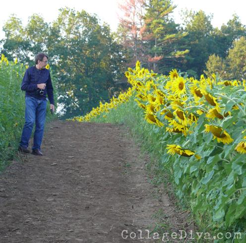6-sunflowers