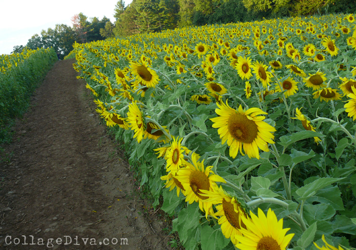 7-sunflowers